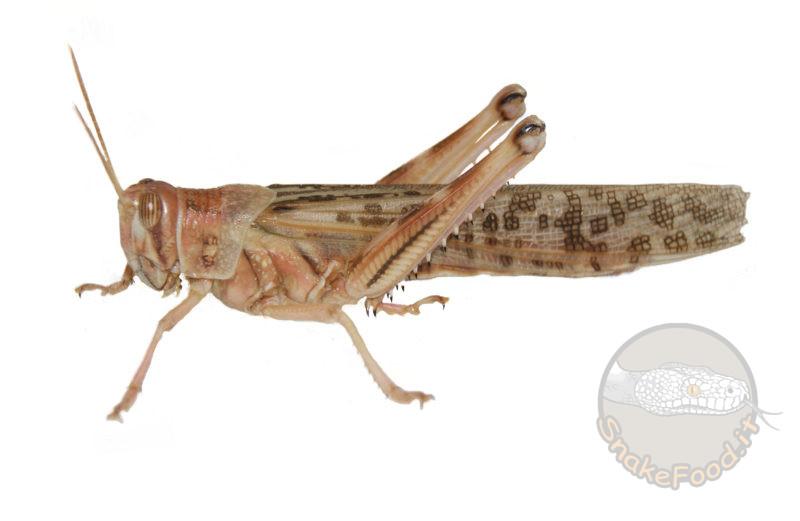 Locuste Subadulte